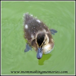 Cute duckling. www.mommakingmemories.com